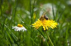 Bee on dandelion Stock Images