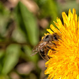 Bee on Dandelion. Bee collection pollen from a dandelion Royalty Free Stock Photos