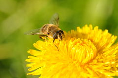 Bee  dandelion. Bee on a dandelion flower Stock Photos