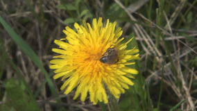 Bee on dandelion. Close up shot of bee on a flower of dandelion stock video