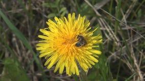 Bee on dandelion. stock video