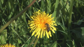 Bee on dandelion. Close up shot of bee on a flower of dandelion stock footage