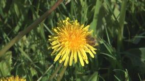 Bee on dandelion. stock footage