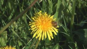 Bee on dandelion. stock video footage