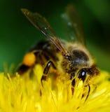 Bee on dandelion. Bee take honey from dandelion royalty free stock image