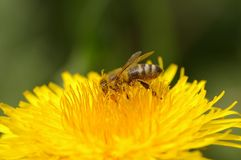 Bee on a dandelion. Close up shot of bee collecting pollen on a dandelion stock photos