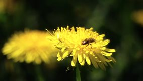 Bee on dandelion. The bee collects nectar. Bee on dandelion. A bee collects nectar from a dandelion stock footage