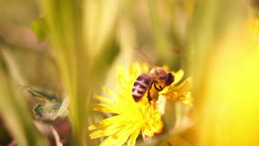 Bee On Dandelion With Blur stock video footage