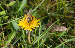 Bee on a dandelion Royalty Free Stock Image