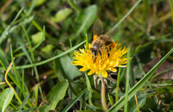 Bee on a dandelion Stock Photos
