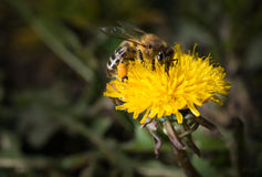 Bee on a dandelion Stock Images