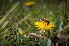 Bee on a dandelion Stock Photo