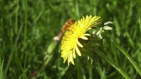 A bee on a dandelion-Stock Videos footage stock footage