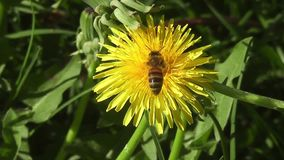 A bee on a dandelion-Stock Videos footage. Close-up of a bee on a dandelion stock video
