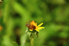 Bee on a dandelion. Bee collect nectar from dandelions Royalty Free Stock Photo