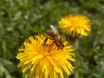 Bee on dandelion. Royalty Free Stock Image