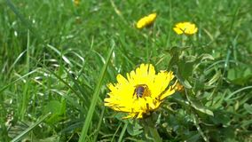 Bee on a dandelion collecting polen, slow motion. Hd video stock footage