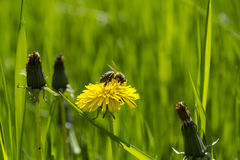 Bee on dandelion Royalty Free Stock Photography