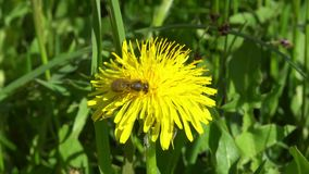 Bee on dandelion collects pollen. 4K stock video footage