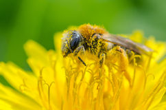 Bee on a dandelion. A bee covered with nectar on a dandelion royalty free stock photography