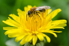 Bee on a dandelion. A bee covered with nectar on a dandelion royalty free stock images
