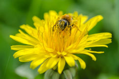 Bee on a dandelion. A bee covered with nectar on a dandelion royalty free stock photos