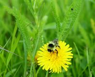 Bee on a dandelion in a field in Germany royalty free stock image