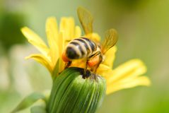 A bee on a dandelion flower Stock Photos