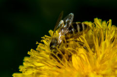 A bee on a dandelion flower. Royalty Free Stock Image
