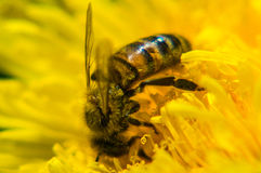 A bee on a dandelion flower. Royalty Free Stock Images