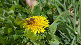 Bee on the dandelion flower Royalty Free Stock Image