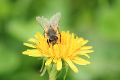 Bee on a Dandelion flower Royalty Free Stock Image