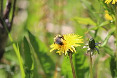 A bee on a dandelion flower Royalty Free Stock Photography