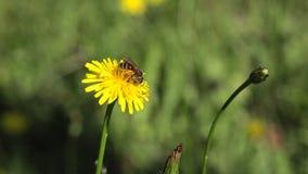 Bee on dandelion. Bee gathering on dandelion flower stock footage