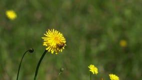 Bee on dandelion. Bee gathering on dandelion flower stock video