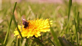 Bee On Dandelion Through Grass stock video