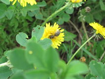 Bee and dandelion. On green background yellow dandelion.Dandelion appears in early spring and is one of a very small number of plants, which are able to start stock images