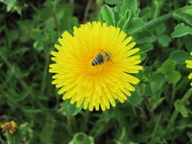 Bee and dandelion. On green background yellow dandelion.Dandelion appears in early spring and is one of a very small number of plants, which are able to start stock photography