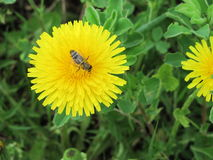 Bee and dandelion. On green background yellow dandelion.Dandelion appears in early spring and is one of a very small number of plants, which are able to start royalty free stock photography