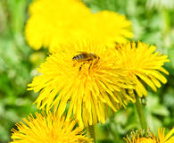 Bee on dandelion in green grass. Spring time. Sunny Day Stock Images