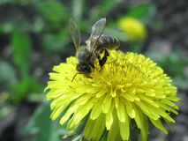 Bee on dandelion Stock Image