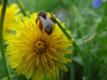Bee and dandelion Stock Photos