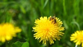 Bee on a dandelion. Little bee pollinating a dandelion stock footage