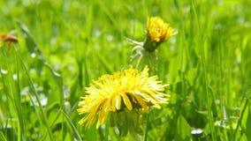 Bee on dandelion, macro. Shoot stock video footage
