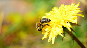 Bee on dandelion Royalty Free Stock Photo