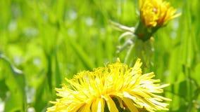 Bee on dandelion stock video footage