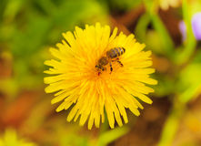 Bee on dandelion Stock Image