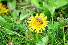 Bee on Dandelion Collecting Stock Photo. Bee on Dandelion Summer Collecting Stock Photo royalty free stock photos