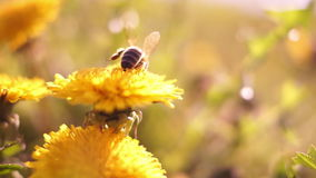 Bee On Dandelion in Sun stock video footage