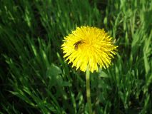 A bee on the dandelion royalty free stock photo